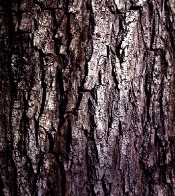 Bark of an old specimen of wych elm.