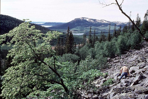 One of the most northern populations of wych elm, growing at latitude 62°N and altitude 600 m, in Sweden.