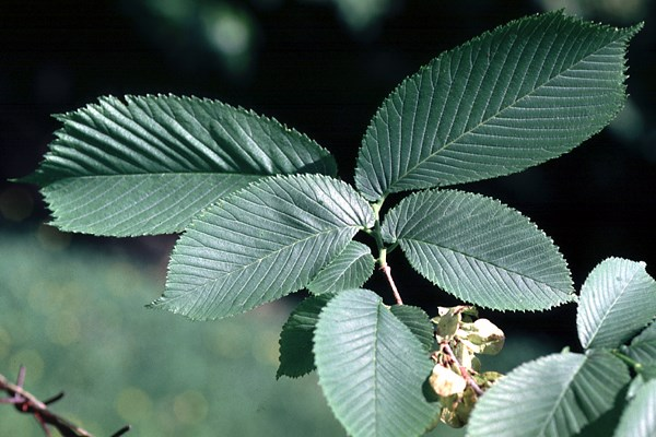 The short shoot of wych elm, showing typical serrated leaf shape.