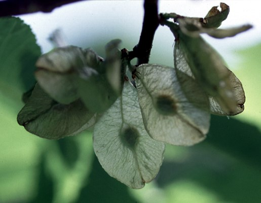 Wych elm seed is held in the centre of the fruit (a samara)