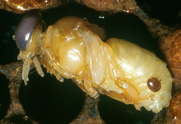 Varroa destructor (Varroa mite); an adult female Varroa mite feeding on a developing bee.