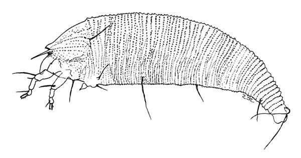 Illustration of adult female.