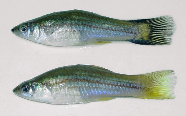 Female X. helleri collected from the Irwin River in Western Australia. Note the melanic caudal fin of the upper specimen typical of Xiphophorus hybrids.