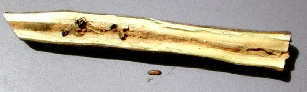 Euwallacea fornicatus (tea shot-hole borer); damage in a tea branch showing beetle in a gallery.