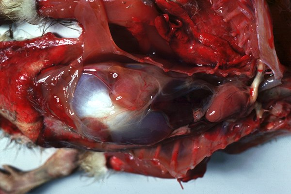 Postmortem appearance of two-week-old gosling with goose parvovirus infection.