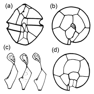 Line diagrams of Alexandrium minutum, adapted from Balech (1995). (a) Plate morphology of the ventral surface. (b) Plate morphology around the apical pore complex (APC). (c) Variation in shape of the first apical plate and its degree of contact (or lack thereof) with the APC. (d) Posterior view showing the plate arrangement in the hypotheca.