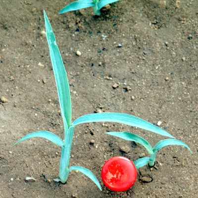 E. colona seedlings at the three to four-leaf stage. The red disc is 1 cm in diameter.