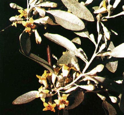 Elaeagnus angustifolia: flowers and foliage.