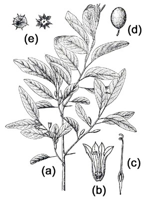 Elaeagnus angustifolia: (a) flowering branch; (b) flower; (c) style; (d) fruit; (e) seeds.