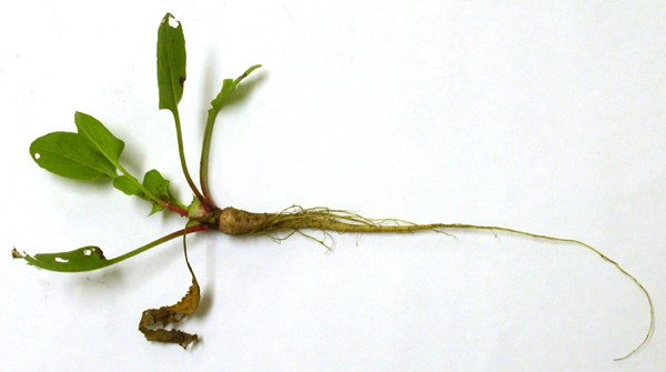 E. australis rosette showing the well developed taproot and early formation of achenes. These attributes give the species some drought-proofing, enabling it to survive 'false breaks'.