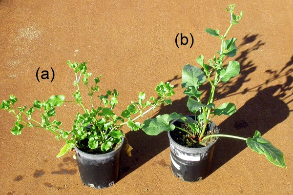 Emex australis (a) and E. spinosa (b) both grown for 20 weeks under identical glasshouse conditions. If able to be supported by other vegetation, E. australis will grow semi-erect (as in this photo) rather than prostrate.