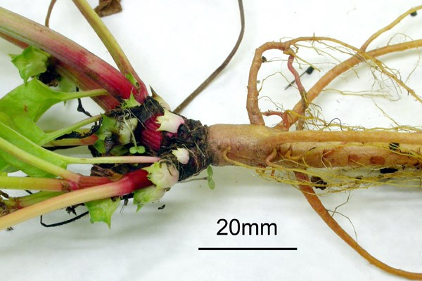 E. australis crown and taproot region.