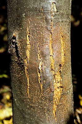 Typical killing canker, incited by C. parasitica, on smooth-barked American chestnut (Castanea dentata) stem with numerous stromata (yellowish spots) and cracking bark.