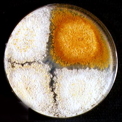 Petri plate containing three white (hypovirus-infected or