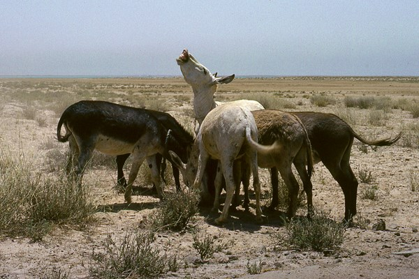 A herd of feral working donkeys, Manifa, Eastern Saudi Arabia, June 1978.