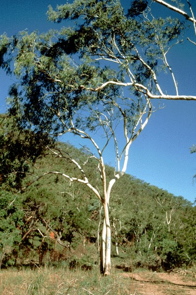 Natural stand of E. camaldulensis, Petford, Australia (height up to 20 m).