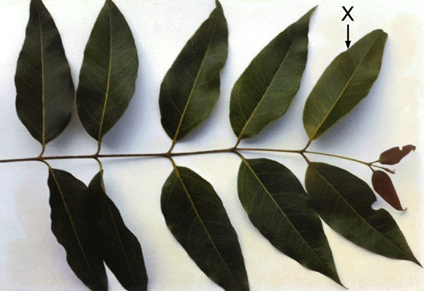 Adult leaves showing opposite to sub-opposite arrangement.  The leaf marked X has been turned to show the underside.