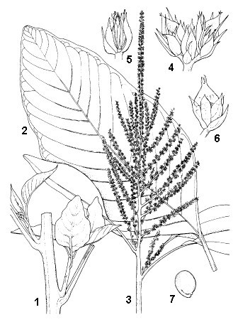 A. cruentus: 1, branch with axils; 2, leaf; 3, inflorescence; 4, glomerule; 5, male flower (one tepal removed); 6, female flower with dehiscing cap; 7, seed.