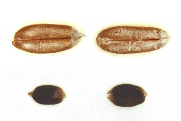 Anguina tritici (wheat seed gall nematode); healthy wheat seeds (top) and seed galls infected with A. tritici (below).