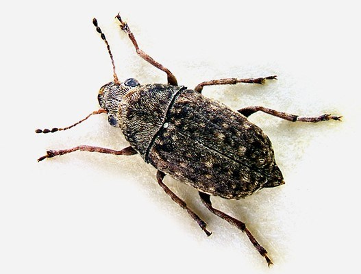 Adults are 3-5 mm long with a mottled, dark-brown appearance, particularly on the elytra.