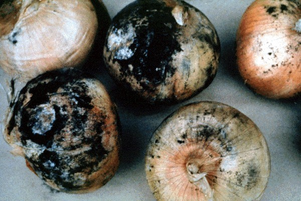 Black mould of onion bulbs; under warm humid conditions, sporulation may be so profuse as to resemble soot.