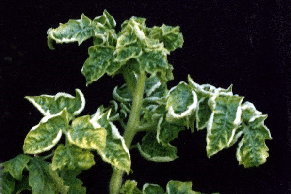 Typical yellow leaf curl symptom on tomato (var. seeda) in Thailand. Affected plants exhibit upward and inward rolling of the leaf margins, interveinal yellowing of leaflets and marked stunting.
