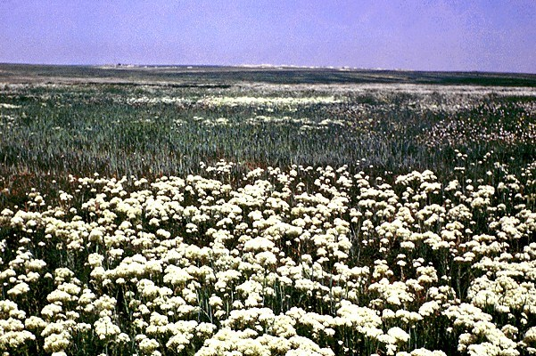 L. draba in wheat field, showing allelopathic effects.