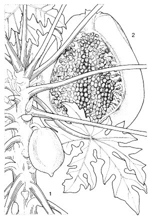 C. papaya: 1, part of flowering and fruiting stem; 2,  halved fruit.  Reproduced from the series 'Plant Resources of South-East Asia', Vols 1-20 (1989-2000), by kind permission of the PROSEA Foundation, Bogor, Indonesia.