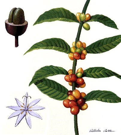 Coffea sp. Plant parts