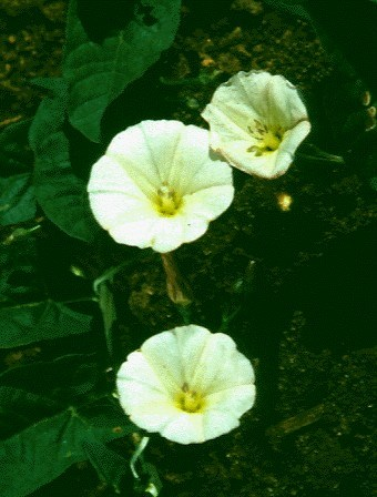 Convolvulus arvensis (bindweed); flowers axillary, corolla funnel-shaped with five radial pubescent bands but not divided into distinct lobes, 10-25mm long, 10-25mm diameter, white or pink.