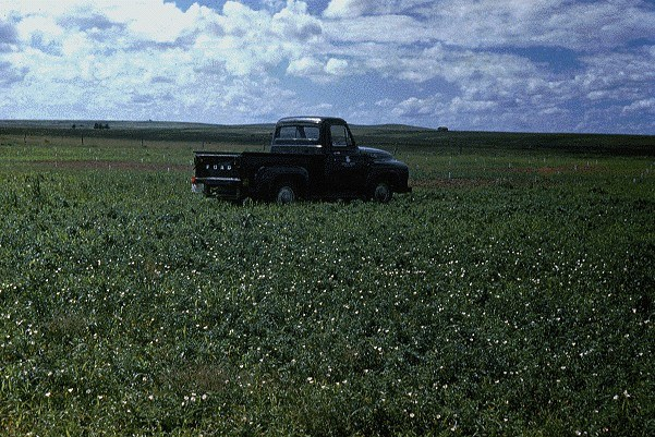 Convolvulus arvensis (bindweed); habit in the field. Hays, Kansas, USA.