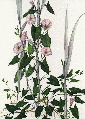 Convolvulus arvensis (bindweed); above ground, the stems trail or climb by twining. Stems slender, to 1.5m long, twining anticlockwise. Leaves alternate, petiolate, variable in shape, lanceolate or ovate to narrow-oblong, 1.2-5.0cm long. (artwork)
