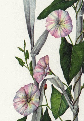 Convolvulus arvensis (bindweed); close-up of flowers. (artwork)
