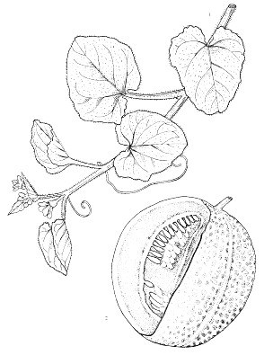 C. melo, leaves and fruit.  Reproduced from the series 'Plant Resources of South-East Asia', by kind permission of the PROSEA Foundation, Bogor, Indonesia.