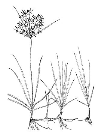 C. rotundus habit of flowering plant with young plantlets.