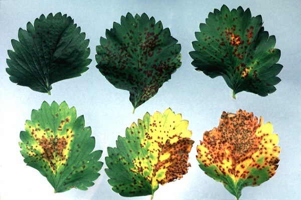 Leaf scorch symptoms in leaves artifically inoculated with Diplocarpon earlianum.  At a a high inoculum concentration, numerous small blotches are formed and coalesce into brown areas stippled with pinpoint lesions.