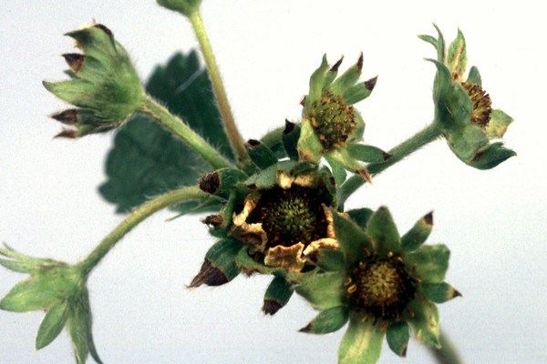Symptoms caused by Diplocarpon earlianum on strawberry sepals, petals, stamens and pistils.
