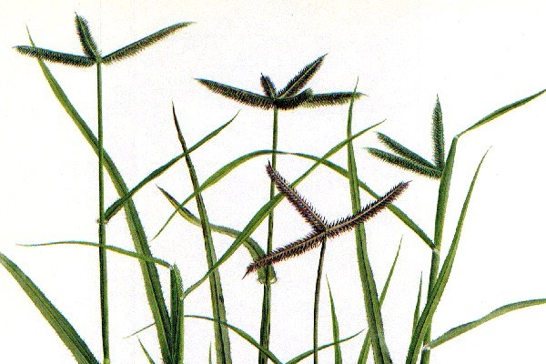 D. aegyptium is a grass, with characteristic 'bird's foot' digitate inflorescence, up to 50 cm tall.