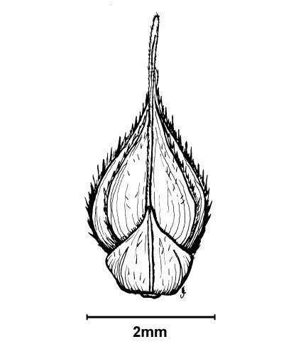 E. crus-galli spikelet.