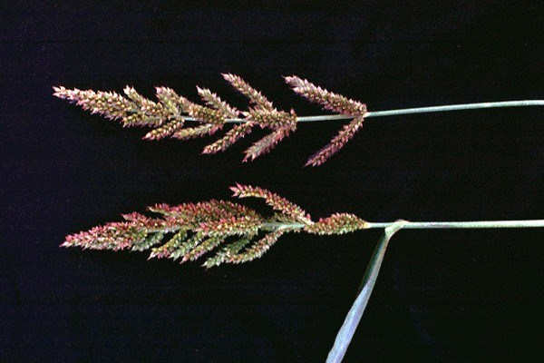 Panicle erect or nodding, green or purple-tinged, 10-20 cm long. Racemes numerous, 2-4 cm long, spreading, ascending, sometimes branched.