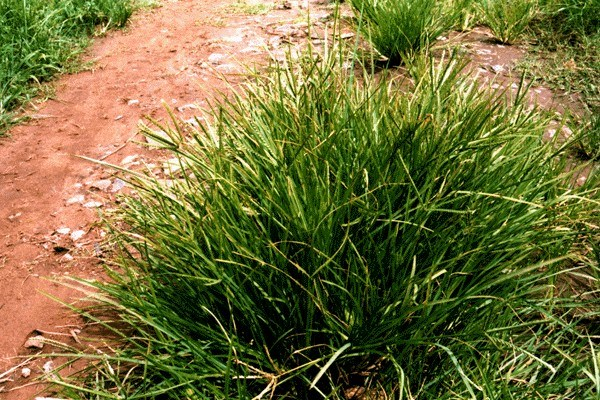 A tufted annual grass, prostrate and spreading, or erect to about 40 cm, depending on density of vegetation.