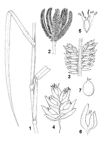 E. coracana: 1, stem part with leaves; 2, inflorescence; 3, part of inflorescence branch; 4, spikelet; 5, floret without lemma and palea; 6, fruit within lemma and palea; 7, fruit.