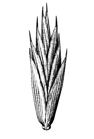 Spikelets compressed, 5-15 mm long, usually with four to six flowers.