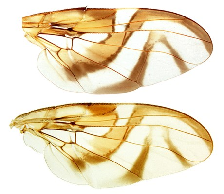 Anastrepha fraterculus, wing markings and venation.