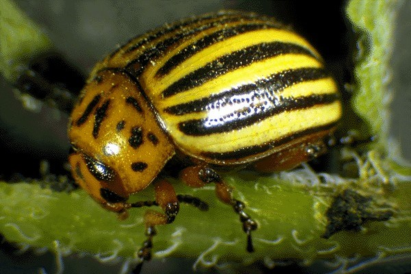 Leptinotarsa decemlineata (Colorado potato beetle); head, pronotum and venter yellow-orange with black markings, legs and scutellum orange-yellow, elytra yellow-orange with five longitudinal black stripes. Body length 8.5-11.5 mm.