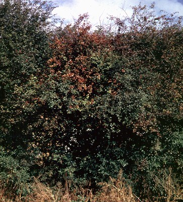 Fire blight on Hawthorn (Crataegus monogyna), infected hedge.