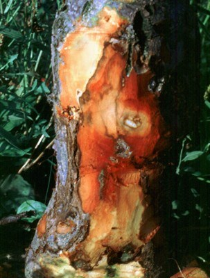 Fire blight lesion on Apple rootstock (bark peeled).