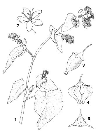 F. esculentum: 1, flowering branch; 2, flower; 3, unwinged fruit; 4, winged fruit; 5, top view winged fruit.