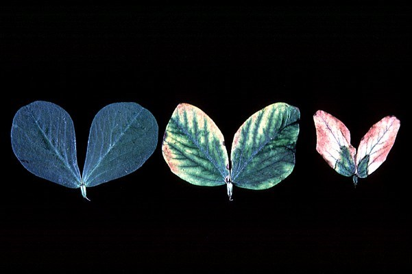 Leaves from faba bean plant infected with FBNYV, showing the progress of symptoms from chlorosis of leaf margins to necrosis.