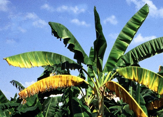 Fusarium oxysporum f.sp. cubense (Panama disease of banana); banana cultivar Bluggoe with yellowing symptoms on lower leaves.